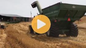 Harvesting a wheat crop