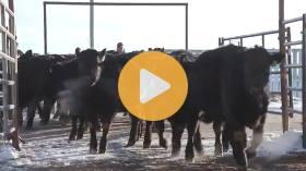 Reducing cattle bruising and dark cutters