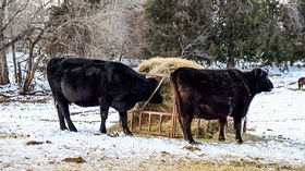 GettyImages-beef cattle eating hay in snow