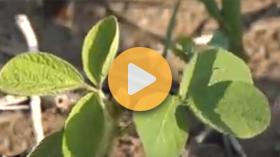 Weed of the week: volunteer roundup ready soybeans
