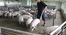 Farmer moving pigs