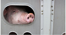 Pig on a transport truck