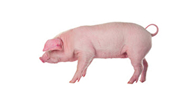 Sow on white background