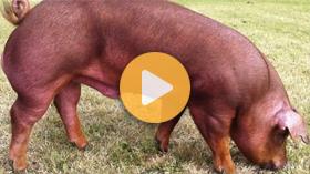 Duroc pigs - well-muscled, calm temperament