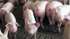 Finishing Pigs in Pen