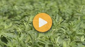 Summer Seeding Alfalfa