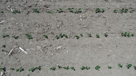 Early Soybean Scouting Tips