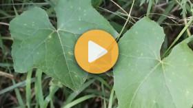 Controlling Bur Cucumber