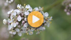 Controlling Common Pepperweed