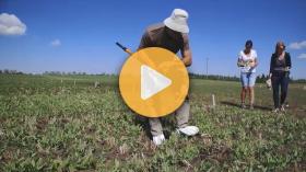 Controlling pea leaf weevil
