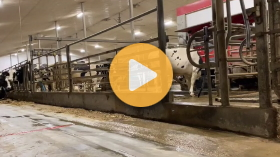 Milking cows with robots
