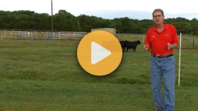 The benefits of selling groups of calves