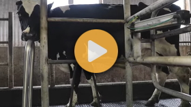 Milking cows on a Canadian family dairy farm