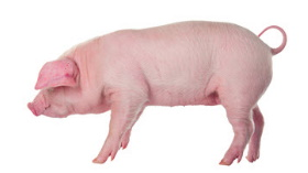 GettyImages-pig cutout white background