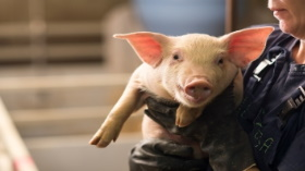 Getty Images - Farmer holding pig with gloves