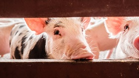 GettyImages-piglets behind fence