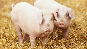 GettyImages-pigs in straw