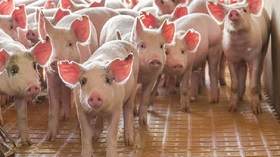 GettyImages-pigs on yellow floor