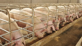 GettyImages-sows eating
