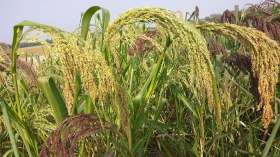 The Big Potential of Little Millet
