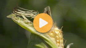 Protecting Your Corn Fields From Insects
